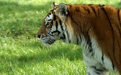 Amur Tiger (Annette Rumbelow) Tags: cats animal big pattern stripes tiger meat endangered wiltshire captive majestic siberiantiger bigcats feedingtime amur horsemeat longleatsafaripark annetterumbelowwilson longleatgrounds