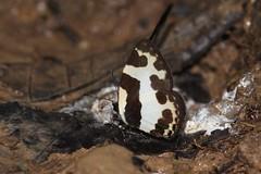Elbowed Pierrot (Caleta elna) (moloch05) Tags: malaysia taman negara