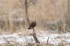 Asio flammeus aka Short Eared Owl (Lisa Rundell) Tags: winter snow raptor short owl eared asio flammeus