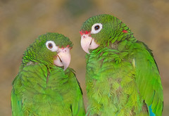 Forever love (velezuribe) Tags: birds amazon puertorico parrot cotorra cotorrapuertorriquea