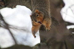 253/365/2809 (February 19, 2016) - Squirrels in Ann Arbor at the University of Michigan (February 17, 18, & 19, 2016) (cseeman) Tags: squirrels annarbor michigan animal campus universityofmichigan umsquirrels02192016 winter eating peanut acorns februaryumsquirrel snow snowy 2016project365coreys yeareightproject365coreys project365 p365cs022016 356project2016 gobluesquirrels umsquirrel foxsquirrels easternfoxsquirrels michiganfoxsquirrels universityofmichiganfoxsquirrels