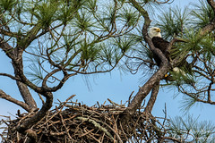Overwatch (Lovely Lizards Photography) Tags: unitedstates eagle birding alabama baldeagle eagles gulfshores eaglet baldeagles eaglenest baldeaglenest gulfstatepark canon7dmkii canonef500mmf4lisiiusm lovelylizardsphotography