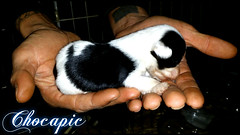 Chocapic (santuariolacandela) Tags: españa dog spain puppies perro cachorro animalsanctuary femaledog adoption perra cachorra fosterhome acogida adopción cabezalavaca santuariolacandela