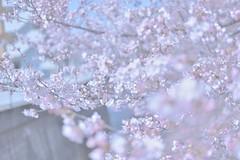 Nerima013 (Kosei.S) Tags: city japan season cherry landscape japanese tokyo spring nikon asia blossoms sakura d800