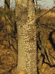 White / silver poplar (aniko e) Tags: tree spring poplar hungary debrecen pappel populus nyár silberpappel populusalba whitepoplar salicaceae silverpoplar ezüstnyár
