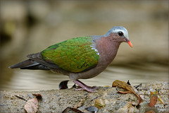 20160407-GUY_4294-DOVE-Emerald-male (guy.miller) Tags: hk guy birds island dove hong kong miller lamma emeral