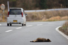 Japanese raccoon dog roadkill--06-(ASO)79-20160306-150557__ (HYLA 2009) Tags: taiwan yhhsu katechen kyushu japan  e{  aso roadkill  kurabaru kumamotoken     wildlife mammal  nyctereutesprocyonoides
