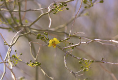 Paloverde Flower (Parkinsonia florida) (Joshua Tree National Park) Tags: flowers tree nationalpark joshua joshuatree wildflowers joshuatreenationalpark