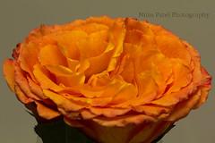 IMG_9423 (nitinpatel2) Tags: rose patel nitin