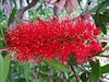 furry red (saudades1000) Tags: red flower nature rojo flor vermelho fiori redflower florvermelha