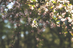Rve de printemps (Irina1010) Tags: flowers tree nature beautiful canon spring blossom dream dreamy blooming
