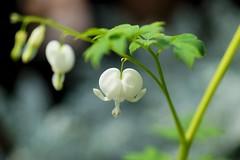 """けまんそう /Dicentra spectabilis (nobuflickr) Tags: flower nature japan botanical kyoto 日本 花 """"the dicentraspectabilis garden"""" 京都府立植物園 けまんそう awesomeblossoms ケマンソウ科コマクサ属 20160320dsc04031"""