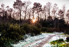 Weybridge-1-5 (johnlawson367) Tags: uk trees winter england nature frost britain january surrey sunsetting weybridge gorse treesshrubs plantflowers