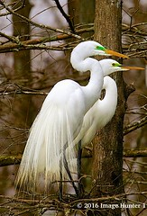 Great Egrets Family Planning - Lake Martin, Louisiana (Image Hunter 1) Tags: tree bird louisiana kayak branches feathers breeding kayaking cypress greategret cypresstree natureconservancy plumage lakemartin cypressislandpreserve