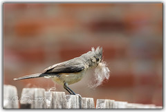 Tufted Titmouse needs a shave (Dolan Trout) Tags: birds tuftedtitmouse