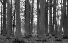 The Forest through the Trees (twinkleinmyeye) Tags: trees light sky white abstract black geometric monochrome lines vertical rural canon dark grey mono vanishingpoint gray perspective trunk linear treetrunks