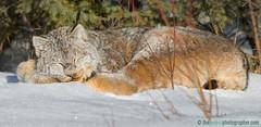 Naptime (Doug Dance Nature Photography) Tags: nature animal cat mammal feline wildlife lynx ridingmountainnationalpark borealforest northamericanwildlife canadianwildlife lynxcanadensis wildlynx dougdancenaturephotography theborealphotographercom