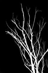 Dead (OzzRod) Tags: trees blackandwhite monochrome contrast square dead pentax bare branches inverted stark k3 smcpentax135mmf25 pentaxsingleinapril2016