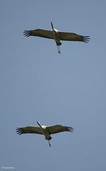 Common Crane Salo Finland (sonjasiltala) Tags: finland crane common trane salo grus kurki