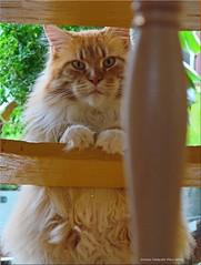 """Die Karte bitte!"" - ""Please the menu!"" (Jorbasa) Tags: pet animal stairs cat germany deutschland oscar hessen oscarwilde karte treppe katze haustier kater tier men tomcat wetterau menkarte jorbasa"