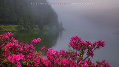 Rododendros en las lagunas de la Sierra de Devasa en la isla de So Miguela Azores //Rhododendrons in the gaps in the Sierra de Devasa in the Azores island of Sao Miguela (ANDROS images) Tags: pictures light naturaleza color luz interesting azaleas photos places images photographs fotos lugares lightreflection andros interesante fotografas miradas pasin tonos throughthelens colortones rododendros viviendo loveofnature living devasa carefortheearth nuestro fotoandros androsphoto androsimages androsphoto fotoandros sitiosespeciales franciscodomnguez naturalezaviva amoralanaturaleza imgenesdenuestromundo slotenemosunatierra planetatierra amarlatierra cuidemoslatierra portierrasespaolas unahermosatierra reflejosdeluz pasinporlafotografa atravsdelobjetivo elmundoenimgenes photoandrosplaces placesspecialsites differentnaturelivingnature imagesofourworld weonlyhaveoneearthplanetearth foracleanworldlovetheearth onspanishterritoryourworld abeautifulearth passionforphotographylooks theworldinpicturesnikon nikon7000 grupodemontaairis franciscodomnguezrodriguez isladesomiguel sierradedevasaazores