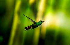 In Flight (jbrambaud) Tags: forest costarica hummingbird natural flight dominical reserva greentree colibri wildlifr