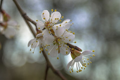 Spring blossom (elluckyphoto) Tags: flower tree nature ecology weather fruit garden spring berry branch flavor blossom sony apricot environment
