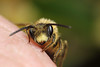 Male miner bee #4 (Lord V) Tags: macro bug insect bee andrena minerbee