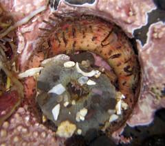 A sea anemone is being eaten by  Carnivorous Chiton (Placiphorella velata)  in California tidepools (rocksandstones) Tags: california sea by is being eaten anemone tidepools carnivorous chiton velata placiphorella a