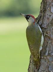 01 05 2016 (cathyk31) Tags: bird oiseau picusviridis picvert piciformes europeangreenwoodpecker picids