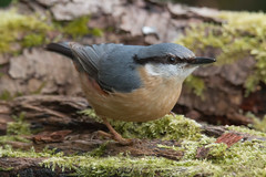 Nutty! (Andrew_Leggett) Tags: wood bird closeup forest woodland moss log floor nuthatch sittaeuropaea andrewleggett