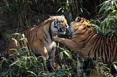 sumatran tiger bugerszoo JN6A5522 (j.a.kok) Tags: tiger sumatrantiger tijger burgerszoo pantheratigrissumatrae sumatraansetijger