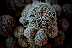 Mesmerizing (ape_regina) Tags: cactus plants spring thorns cactaceae spines tangle succulents
