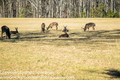 The younger guys (emm3226) Tags: whitetail cadescove buks gsmnpgreatsmokymountainnationpark