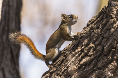 _DSC6906-Edit (doug.metcalfe1) Tags: nature mammal spring squirrel outdoor osprey redsquirrel 2016 mckenziemarsh nokiidaatrail