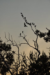 Morning meeting (juliecarmen.fahy) Tags: morning trees red birds silhouette dawn fly highway south australia center stuart
