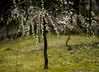 20160229-095842_5K_80 (pya) Tags: kyoto 京都 camellia plumblossoms jonangu 梅花 茶花 城南宮 椿花 weepingplumblossoms