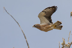 Swainson's Hawk takes a swipe at an owls nest - sequence - 5 of 5