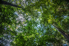 Fractal Canopy (QuintonHurstPhotography) Tags: life park trees sky green art nature up forest woodland outdoors photography artwork woods flora scenery state outdoor earth tennessee fineart fine scenic falls upward burgess fineartphotography thegreatoutdoors burgessfalls