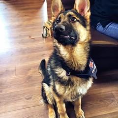 Monte (roger g1) Tags: dog germanshepherd alsatian rnli