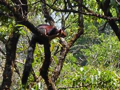 Indian giant squirrel (Jackie & Dennis) Tags: giant squirrel indian kerala munnar malabar rwh giantsquirrel indiangiantsquirrel malabargiantsquirrel ramblersworldwideholidays lakshmihills