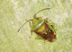 Birch Shieldbug - Elasmostethus interstinctus (Prank F) Tags: macro nature closeup bug insect wildlife sandy birch shieldbug thelodge rspb elasmostethusinterstinctus bedfordshireuk
