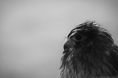 Vercors : Portrait de l'oiseau de proie sous la pluie (Quentin Verwaerde) Tags: portrait blackandwhite bw mountain cold eye window nature wet forest montagne dark walking landscape photography solitude loneliness photographie sad noiretblanc hiking fear nb oeil triste sombre only effort lonely paysage vercors unhappy fentre depth froid marche fort birdofprey pity solitaire seul rverie reverie dipped efforts randonne peur piti vagrancy profondeur mouill malheureux vagabondage oiseaudeproie tremp marchepied verwaerde quentinverwaerde