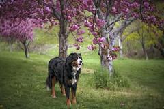 Springtime Hammond (Elle_Zee) Tags: pink lensbaby spring blossoms bernese petzval twist60