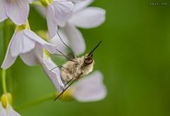 Leipzig, Auwald, Groer Wollschweber (joergpeterjunk) Tags: outdoor wiese insekt tier wiesenschaumkraut wollschweber canoneos50d groserwollschweber canonef100mmf28lmacroisusm