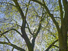 Frhling / Springtime (schreibtnix) Tags: tree nature backlight germany deutschland seasons jahreszeiten natur structures baum darmstadt springtime frhling gegenlicht strukturen olympuse5 schreibtnix