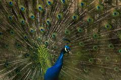 Blauer Pfau - Blue Peacock (hamburgerkunst.com) Tags: blue animal zoo tiere eyes natur peacock bremen blau augen pfau tiergehege