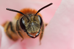 Miner bee  in a camellia flower #8 (Lord V) Tags: macro bug insect bee andrena minerbee