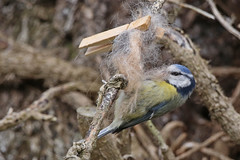 Tit blue gathering nesting material Siblands 25.4.2016 (1) (Margaret the Novice) Tags: tits