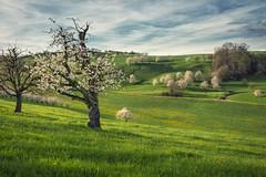Green hills of spring (helena678) Tags: blue light sky green clouds schweiz switzerland evening spring nikon blossoms hills april cherryblossom aargau cherrytrees argau swisslandscape